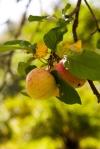 Fresh ripe apples in an apple tree
