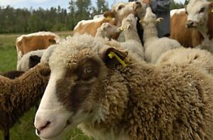 lammas